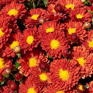 Chrysanthemum Firedance Dendranthema   - Chrysanthemum Igloo -  std pot